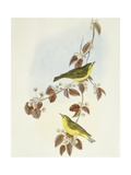 Wood Warbler (Phylloscopus Sibilatrix)
