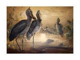 Shoebilled Stork  1861