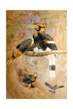 Concave-Casqued Hornbill (Dichoceros Bicornis)  1856-67