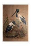 Black-Necked Stork (Xenorhynchus Australis)  1856-67