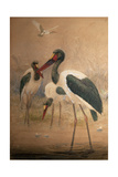 Saddle-Billed Stork (Xenorhynchus Senegalensis)  1856-67