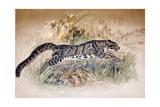 Clouded Leopard  1851-69