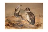 Angola Vulture (Gypohierax Angolensis)  1856-67