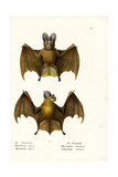 Greater False Vampire Bat  1824