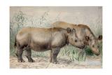 Hairy Eared Rhinoceros