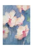 Hibiscus  Apricot