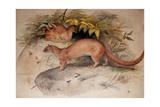 Eyra (Felis Eyra)  1851