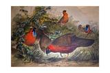 Horned Tragopan  1861