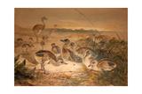 American Rheas (Rhea Americana)  C1851-76