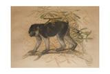Ashy-Black Macaque (Macacus Ocreatus)  1869