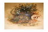 Ocelot  1851-52