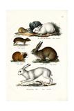 Ogotona Hare  1824