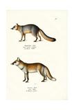 Grey Fox  1824