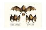 Long-Nosed Bat  1824