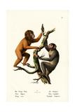 Orangutan  1824