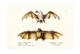 Northern Ghost Bat  1824