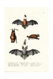 Common Pipistrelle  1824