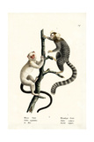 Common Marmoset  1824
