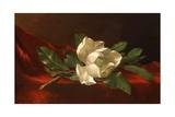 Magnolia  C1885-95