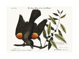 The Red-Winged Starling  1749-73