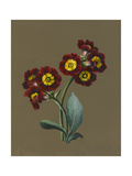 Red Primula Auricula  1830 (W/C and Bodycolour on Paper with a Prepared Ground)