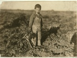 6 Year Old Jo Pulling Sugar Beets on a Farm Near Sterling  Colorado  1915