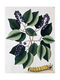 Pigeon Plum and a Great Horned Catterpillar  1771