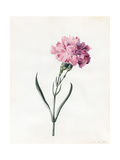 Carnation  1826