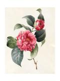 Camellia  1827