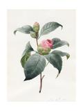 Camellia  1826
