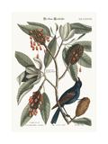 The Blue Gross-Beak  1749-73