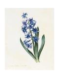 Hyacinth  1826