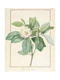 Magnolia Glauca  1811
