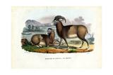 Mouflon  1863-79