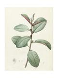 Ficus Rubeginosa