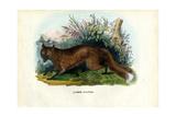 Red Fox  1863-79