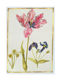 Tulip and Daffodil  C1675