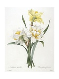 Narcissus Gouani (Double Daffodil)  1827