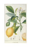 The Lemon Tree  Engraved by Dubois  C1820