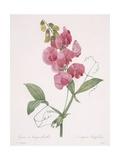 Lathyrus Latifolius (Everlasting Pea)  1827