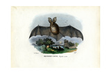 Grey Long-Eared Bat  1863-79