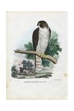 Peregrine Falcon  1863-79