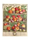 August  from 'Twelve Months of Fruits'  by Robert Furber (C1674-1756) Engraved by C Du Bose  1732