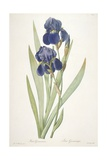 Iris Germanica (Bearded Iris)  1812