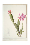 Cactus Speciosus  1811 (W/C and Bodycolour over Traces of Graphite on Vellum)