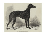 Lord Lurgan's Greyhound  Master M'Grath