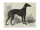 Lord Lurgan's Greyhound  Master M'Grath