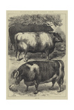 Smithfield Club Cattle Show  Prize Oxen
