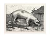 French Hog  1873