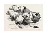 Cows and Bulls  1873